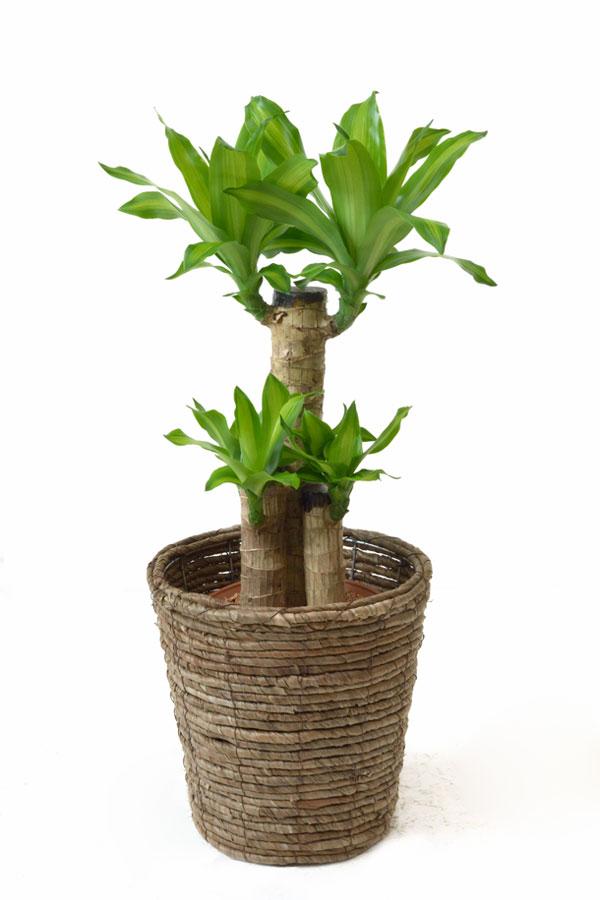 ◆クーポン配布中 グループA◆観葉植物 幸福の木 6号鉢 選べる4色の鉢カバー付 送料無料 インテリア アジアン 引越し祝い 開店祝い 新築祝い お祝い ドラセナ 母の日