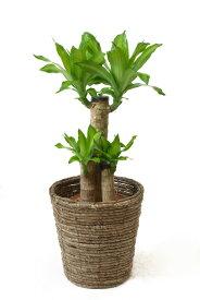 観葉植物 幸福の木 6号鉢 選べる4色の鉢カバー付 送料無料 インテリア アジアン 引越し祝い 開店祝い 新築祝い お祝い ドラセナ