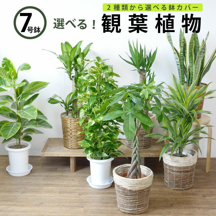 パキラ・ポトス・幸福の木・サンスベリア、人気の観葉植物選べる7種類! 7号鉢 大型 お祝い 開店祝い 福袋 母の日