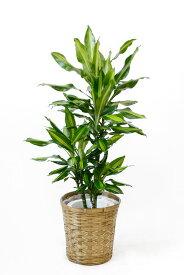 ドラセナ・ジェレ 7号鉢 観葉植物 鉢カバーオプション 大型 おしゃれ インテリア お祝い 開店祝い 新築祝い