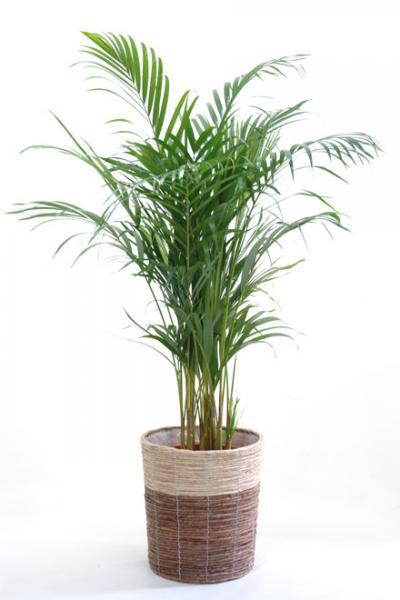 観葉植物 アレカヤシ 8号 鉢カバー付 新築祝い 開店祝い ヤシの木 大型 観葉植物 インテリアに! ビジネス即日開店 オープン 父の日