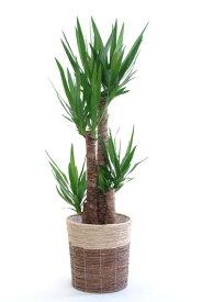 ユッカ 観葉植物 ユッカ 8号鉢 鉢カバー付インテリア アジアン 開店祝い お祝い 大型 観葉植物