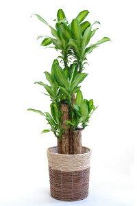 ドラセナ・マッサンゲアナ(幸福の木)