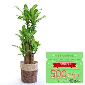 ◆限定クーポン配布中◆観葉植物 幸福の木 8号 鉢カバー付セット インテリア おしゃれ 開店祝い 大型