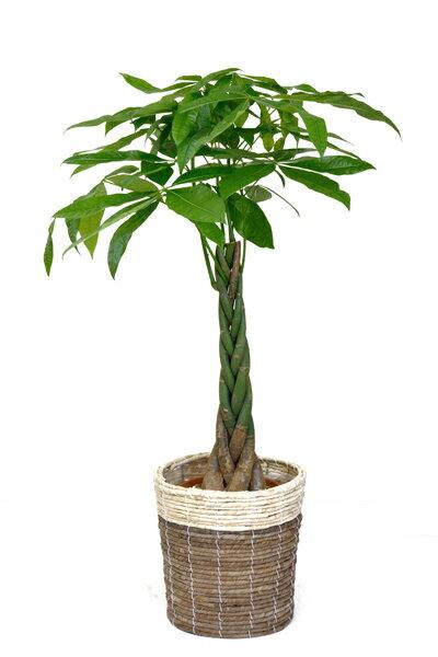 観葉植物 パキラ8号の鉢カバー付セットです。 おしゃれなインテリアに 開店祝い 大型 母の日
