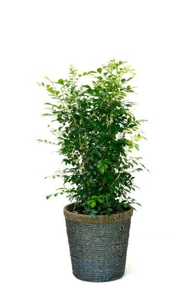 シルクジャスミン 観葉植物 シルクジャスミン ゲッキツ 8号 ブルー 鉢カバー付 引越し祝い 新築祝い 観葉植物 敬老の日