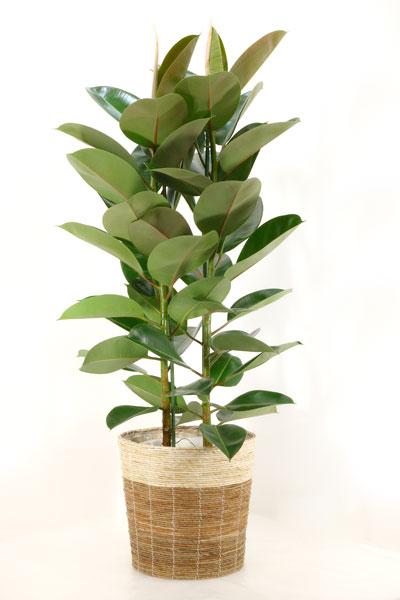 ゴムの木 観葉植物 フィカス ロブスター ゴムノキ 10号 鉢カバー付 大型 インテリア 新築祝い お祝い ゴムの木 観葉植物 母の日