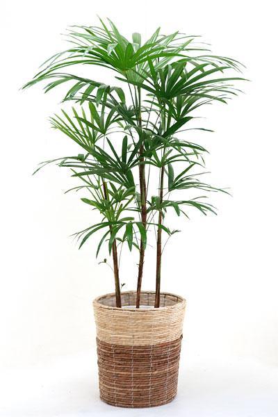 観葉植物 シュロチク 棕櫚竹 8号 鉢カバー付 大型 和風 インテリア 新築祝い お祝い 植物 父の日