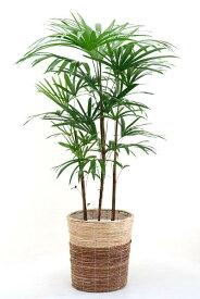 観葉植物 シュロチク 棕櫚竹 8号 鉢カバー付 大型 和風 インテリア 新築祝い お祝い 植物