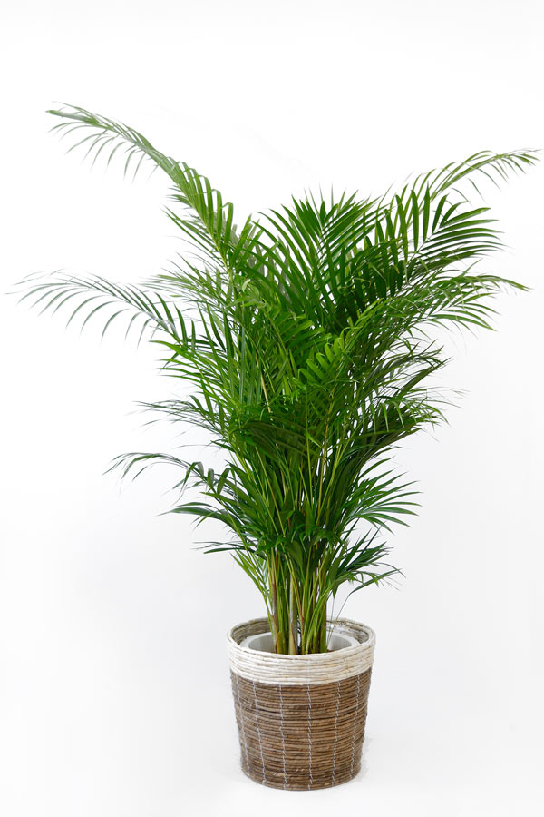観葉植物アレカヤシ ヤシの木 10号 鉢カバーオプション 大型 観葉植物 引越し祝い 新築祝い 開店祝い インテリア 父の日