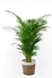 観葉植物アレカヤシ ヤシの木 10号 鉢カバーオプション 大型 観葉植物 引越し祝い 新築祝い 開店祝い インテリア