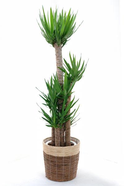 ユッカ 観葉植物 ユッカ10号 鉢カバー付き 大型 インテリア アジアン おしゃれ 引越し祝い 開店祝い 新築祝い お祝い 敬老の日
