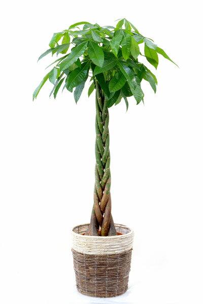 観葉植物 パキラ 10号 鉢カバー付 セット 送料無料 大型 インテリア 引越し祝い 新築祝い 開店祝い アジアン 敬老の日