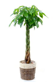 観葉植物 パキラ 10号鉢 鉢カバーオプション 送料無料 大型 インテリア 引越し祝い 新築祝い 開店祝い アジアン おしゃれ