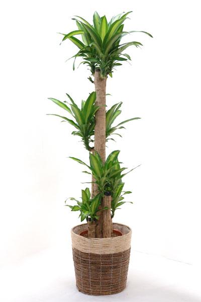 観葉植物 幸福の木 10号 鉢カバー付 送料無料 大型 インテリア 引越し祝い 新築祝い ドラセナ 父の日