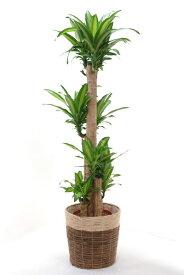 観葉植物 幸福の木 10号 鉢カバー付 送料無料 大型 インテリア おしゃれ 引越し祝い 新築祝い ドラセナ