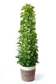 ポトス 観葉植物 ポトス タワー仕立て 10号 鉢カバー付 大型 インテリア アジアン 引越し祝い 開店祝い 新築祝い お祝い 観葉植物