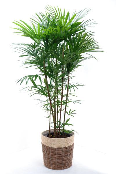 【お取り寄せ】シュロチク 棕櫚竹 10号 鉢カバー付 大型 観葉植物 インテリア 観葉植物 母の日