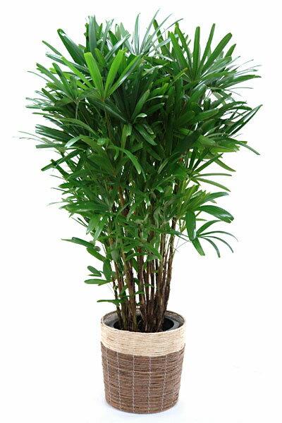 【お取り寄せ】カンノンチク 観音竹 10号 鉢カバー付 大型 観葉植物 インテリア アジアン 観葉植物
