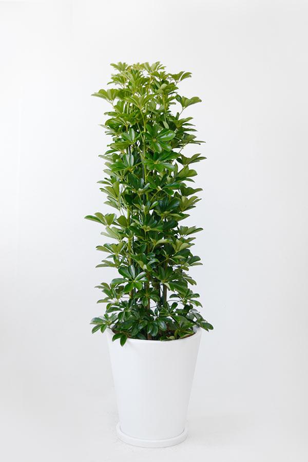 ホンコンカポック10号 陶器(ファイバークレイ)鉢カバー付 大型 観葉植物 インテリア アジアン おしゃれ 引越し祝い 開店祝い 新築祝い お祝い 観葉植物 カポック 父の日
