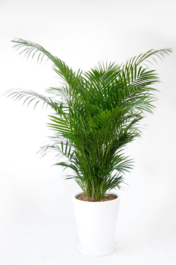 アレカヤシ10号 陶器 鉢カバー付 大型 観葉植物 インテリア アジアン おしゃれ 引越し祝い 開店祝い 新築祝い お祝い 鉢植え ヤシの木