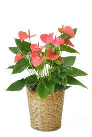 観葉植物 アンスリウム ロイヤルピンクチャンピオン 6号鉢 キャラメルブラウン鉢カバー付 アンスリューム