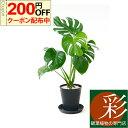 ◆限定クーポン配布中◆ 観葉植物 ヒメ モンステラ セラアート鉢 6号鉢 大型 インテリア 開店祝い お祝い 新築祝い ブラック ホワイト …