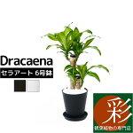 観葉植物ドラセナ・マッサンゲアナ(幸福の木)6号セラアート鉢大型インテリア開店祝いお祝い新築祝い