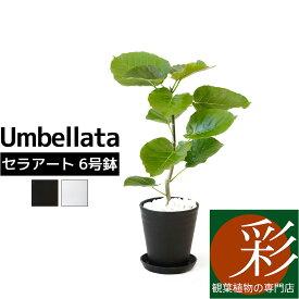 観葉植物 フィカス・ウンベラータ セラアート鉢 6号鉢 大型 インテリア 開店祝い お祝い 新築祝い ブラック ホワイト セラート鉢
