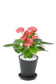 観葉植物 アンスリウム ロイヤルピンクチャンピオン セラアート鉢 6号鉢 大型 インテリア 開店祝い お祝い 新築祝い ブラック ホワイト セラート鉢 アンスリューム