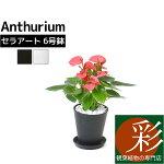 アンスリウムアンスリュームロイヤルピンクチャンピオンセラアート鉢観葉植物ブラックホワイトセラート鉢母の日