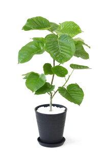 観葉植物選べる8号鉢セラアート鉢アレカヤシパキラサンスベリアポトスガジュマルシルクジャスミン大型おしゃれインテリア開店祝い福袋ブラックホワイトセラート鉢