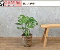 選べる6号鉢観葉植物ヒメモンステラサンスベリアクルシア・ロゼア幸福の木ユッカ・エレファンティペス大型インテリア開店祝いおしゃれ花