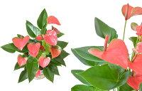 選べる6号鉢観葉植物鉢カバー付きヒメモンステラサンスベリアクルシア・ロゼア幸福の木ユッカ・エレファンティペスアンスリウム大型インテリア開店祝いおしゃれ花