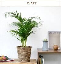 選べる6号鉢観葉植物選べる4色鉢カバー付きヒメモンステラサンスベリアクルシア・ロゼア幸福の木ユッカ・エレファンティペス大型インテリア開店祝いおしゃれ花
