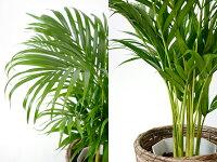 選べる6号鉢観葉植物鉢カバー付きヒメモンステラサンスベリアクルシア・ロゼア幸福の木ユッカ・エレファンティペスアンスリウム大型インテリア開店祝いおしゃれ花母の日