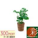 ◆限定クーポン配布中◆選べる 6号鉢 観葉植物 鉢カバー付き ヒメ モンステラ サンスベリア クルシア・ロゼア 幸福の…