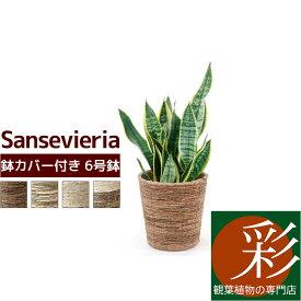 観葉植物 サンスベリア 6号 選べる4色の鉢カバー付対応 インテリア アジアン おしゃれ 引越し祝い 開店祝い 新築祝い お祝い サンセベリア