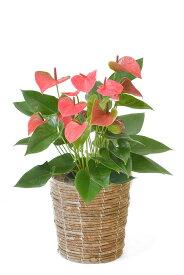 観葉植物 アンスリウム ロイヤルピンクチャンピオン 6号鉢 選べる4色の鉢カバー付 送料無料 インテリア アジアン 引越し祝い 開店祝い 新築祝い お祝い アンスリューム