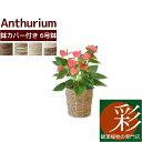 観葉植物 アンスリウム ロイヤルピンクチャンピオン 6号鉢 選べる4色の鉢カバー付 送料無料 インテリア アジアン 引越し祝い 開店祝い …