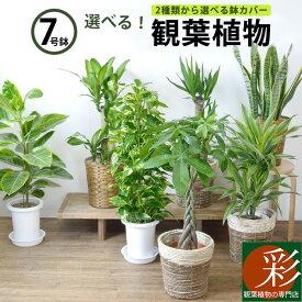 パキラ・ポトス・幸福の木・サンスベリア、人気の観葉植物選べる7種類! 7号鉢 大型 お祝い 開店祝い 福袋 花