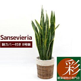 サンスベリア 観葉植物 サンスベリア 8号 鉢カバー付 インテリア 開店祝い 新築祝い お祝い サンセベリア 大型 観葉植物 ビジネス 開店 オープン