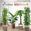 観葉植物 4種類の樹種から選べる 8号 鉢カバー付セット 幸福の木 ストレリチア・オーガスタ パキラ ポトス タワー仕立て インテリア お…