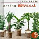 観葉植物 5種類の樹種から選べる 8号 鉢カバー付セット ユッカ ストレリチア・オーガスタ パキラ ポトス タワー仕立て…