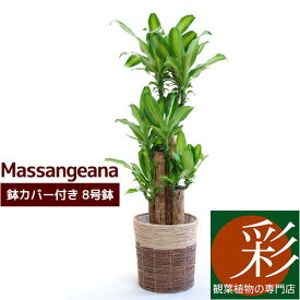 幸福の木 8号鉢 * 鉢カバー付セット 観葉植物 ドラセナ特集
