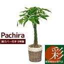観葉植物 パキラ8号 鉢カバー付セット おしゃれ インテリア 開店祝い 大型 花 母の日