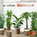 観葉植物 6種類の樹種から選べる 8号 鉢カバー付セット 幸福の木 ユッカ ストレリチア・オーガスタ パキラ ポトス タワー仕立て ゲッキ…