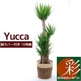 ユッカ 観葉植物 ユッカ10号 鉢カバー付き 大型 インテリア アジアン おしゃれ 引越し祝い 開店祝い 新築祝い お祝い