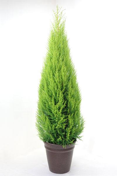 【屋外用】クリスマスにもピッタリ!ゴールドクレスト10号鉢 【植木】【お祝い】【インテリア】 観葉植物