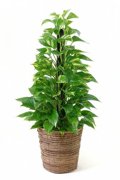観葉植物 ポトス 7号鉢(ヘゴ仕立) 開店祝い 新築祝い お祝い 誕生日 母の日